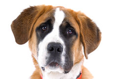 Portrait of St. Bernard dog Royalty Free Stock Photography