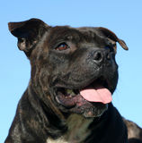 Portrait of staffie. Beautiful purebred staffordshire bull terrier laid down Royalty Free Stock Photos