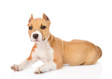 Portrait staffordshire terrier puppy with cropped ears.  Royalty Free Stock Photo
