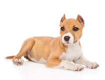 Portrait staffordshire terrier puppy with cropped ears. isolated Stock Photo