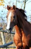 Portrait stallion Royalty Free Stock Photos