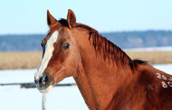 Portrait Stallion Lizenzfreies Stockfoto