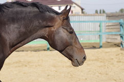 Portrait of the stallion. Portrait of thoroughbred horse at the farm Stock Photography