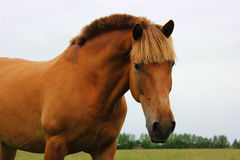Portrait of a stallion. On a pasture on a cloudy day Stock Images