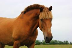Portrait of a stallion Stock Images