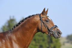 Portrait of a stallion. A wonderfull stallion head portrait. This horse is breeded from Candillo x Argentinus x Grannus Stock Image