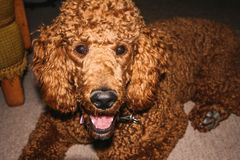 Portrait of a standard poodle laying on the floor royalty free stock photo