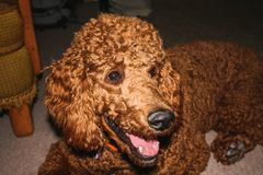 Portrait of a standard poodle laying on the floor stock image