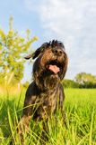 Portrait of a standard schnauzer dog Royalty Free Stock Image