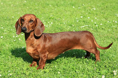 Portrait of Standard smooth-haired dachshund Stock Images