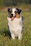 Portrait of standing australian shepherd Royalty Free Stock Photos