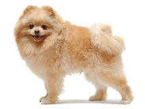 Portrait of standing pomeranian spitz Stock Images