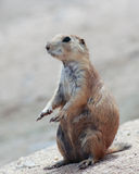 A Portrait of a Standing Prairie Dog Royalty Free Stock Images