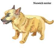 Norwich terrier vector illustration. Portrait of standing in profile dog Norwich terrier, vector colorful illustration isolated on white background stock illustration
