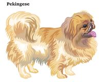 Colored decorative standing portrait of dog Pekingese vector ill. Portrait of standing in profile dog Pekingese, vector colorful illustration isolated on white Stock Images