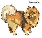 Pomeranian vector illustration. Portrait of standing in profile dog Pomeranian, vector colorful illustration isolated on white background vector illustration