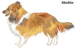 Colored decorative standing portrait of Sheltie vector illustrat. Portrait of standing in profile Sheltie, vector colorful illustration isolated on white Royalty Free Stock Images