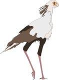 Portrait of a standing secretary bird Stock Photography