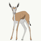 Portrait of a standing springbok Royalty Free Stock Images