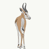 Portrait of a standing springbok Royalty Free Stock Image
