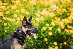 Portrait Of Staring Purebred German Shepherd Adult Dog, Alsatian Stock Photography