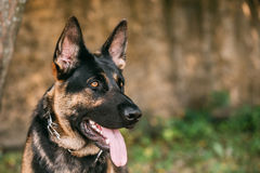 Portrait Of Staring Purebred German Shepherd Adult Dog, Alsatian Wolf Dog Stock Photography