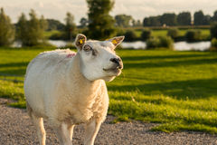 Portrait of staring sheep Stock Photos