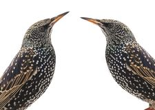 Portrait starling Royalty Free Stock Image