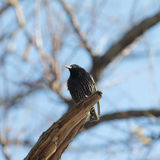 Portrait of starling Stock Images