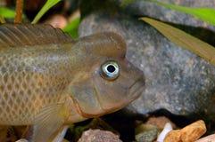 Portrait of Steatocranus fish Royalty Free Stock Image