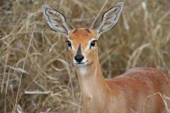 Portrait of steenbok stock image