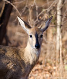 Portrait of Steenbok towards camera Stock Images