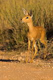 Portrait of a steenbuck. The shot was taken in the Kgalagadi Transfrontier Park, South Africa Stock Image
