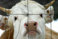 Portrait of a steer. Closeup shot of a steer's head seen through wire fence Stock Images