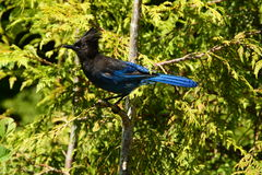 Portrait of a Stellar Jay. Stock Photos