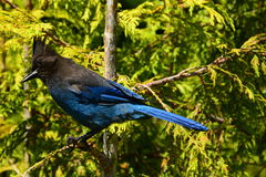 Portrait of a Stellar Jay. Royalty Free Stock Images