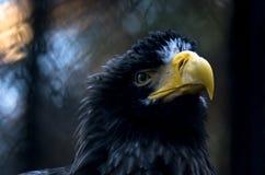 The portrait of Steller`s sea eagle, Haliaeetus pelagicus, at sunset.  Royalty Free Stock Images