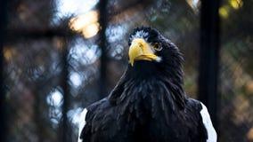 The portrait of Steller`s sea eagle, Haliaeetus pelagicus, at sunset royalty free stock images