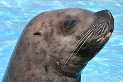 Free Portrait Steller Sea Lion Royalty Free Stock Image - 12235956