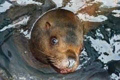 Portrait Steller Sea Lion (Eumetopias jubatus) Stock Images