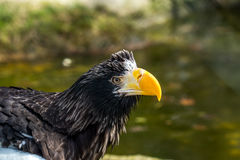 The portrait of Stellers sea eagle Haliaeetus pelagicus Stock Image
