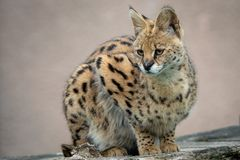 Portrait steppe cats Leptailurus serval. Wild cats.  royalty free stock photos
