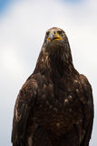 Portrait of a Steppe eagle Stock Photography