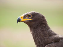 Portrait of steppe eagle - Aquila nipalensis stock images