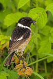 Portrait of a stonechat. Perching on a twig and holding a worm in its beak Royalty Free Stock Photos
