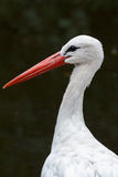 Portrait of a stork (Ciconia ciconia) Stock Images