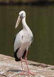 Portrait of a stork Stock Image