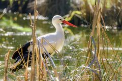 Portrait of a stork at a pond Stock Images