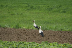 Portrait of storks. Walking among the green fields and meadows Stock Photography