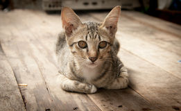 Portrait stray cat watching camera on wood floor Royalty Free Stock Image
